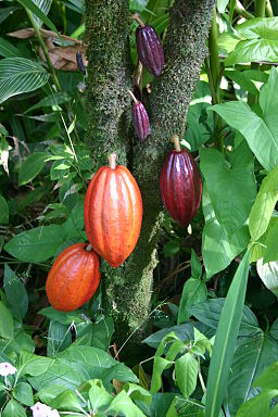 A cacao tree with fruit pods